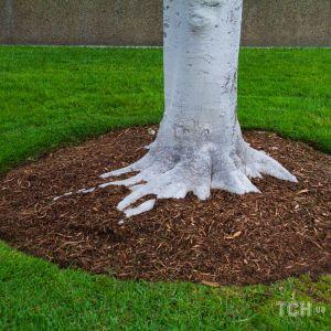 Як захистити плодові дерева від моху, лишайників, хвороб та шкідників