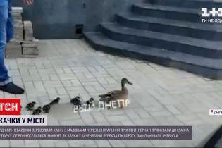 Новини України: у Дніпрі люди допомогли качці з малечею перейти проспект