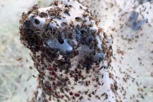 В Австралії мільйони павуків сплели кілометри павутини: окупували цілий штат