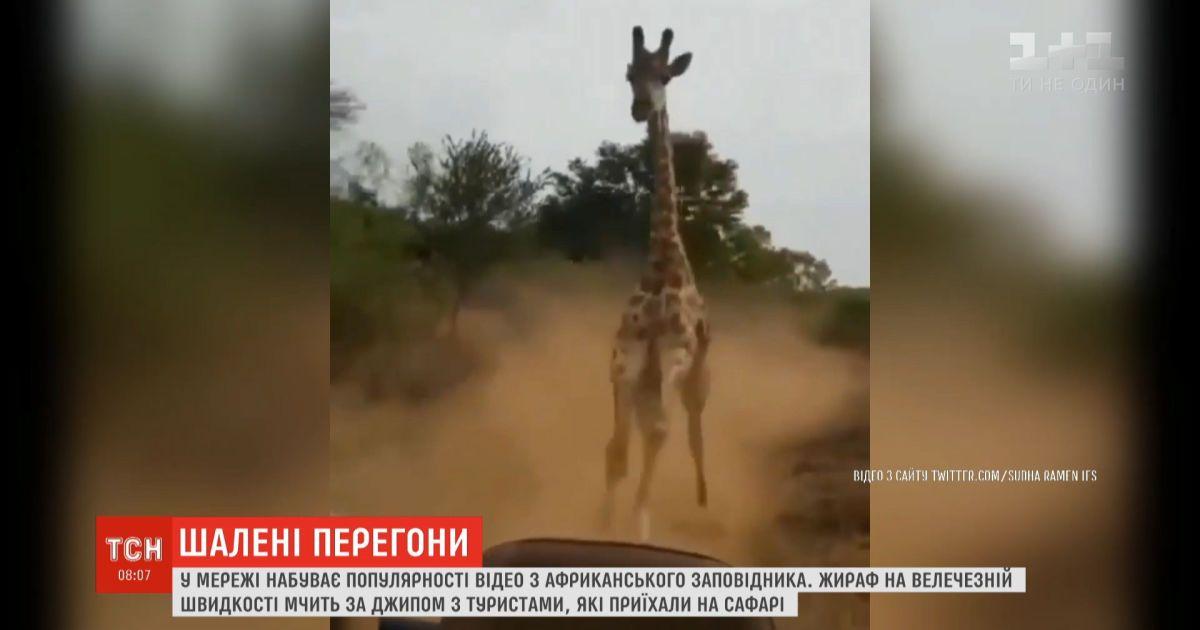 В сети набирает популярность видео, на котором жираф мчится за джипом с туристами