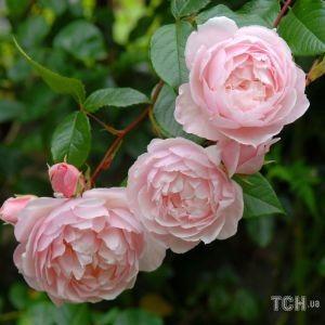 Сорти троянд, названі на честь знаменитих особистостей