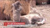 Харьков выбирает имя для маленькой верблюдицы, которая родилась в местном зоопарке