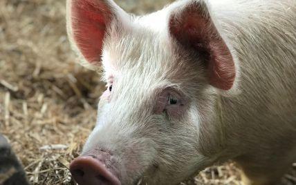 В Киеве у дикой свиньи обнаружили африканскую чуму