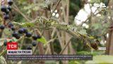 Новости Украины: на Волыни воюют с нашествием гусениц - в трех общинах объявили карантин