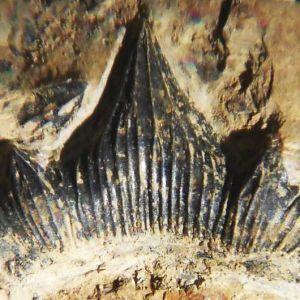Науковці виявили останки дуже великої акули, яка існувала 300 мільйонів років тому