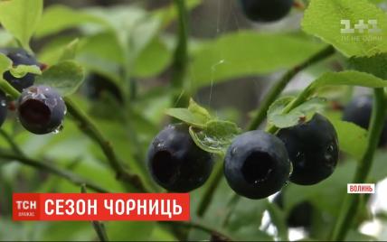 """Сезон """"черного золота"""": как в Волынской области собирают чернику и за сколько продают"""